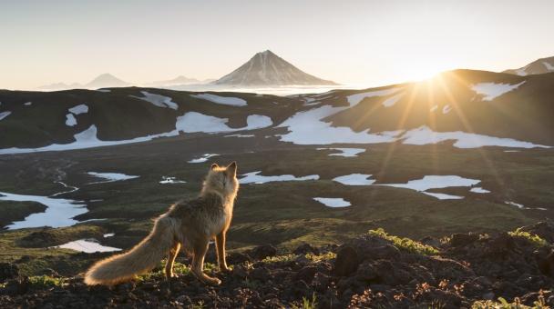 Мудрый лис встречает рассвет