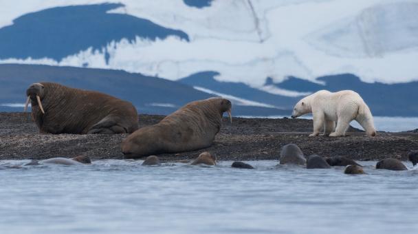 Белый медведь в гостях у моржей.