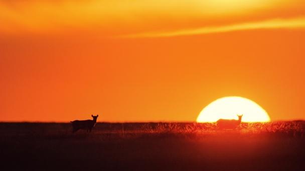 """Сайгаки на закате, Заповедник """"Чёрные Земли"""", Республика Калмыкия"""